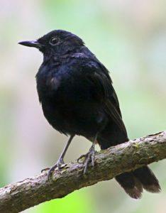 black-shama