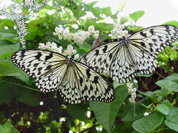 kawasan-paper-kite-butterfly