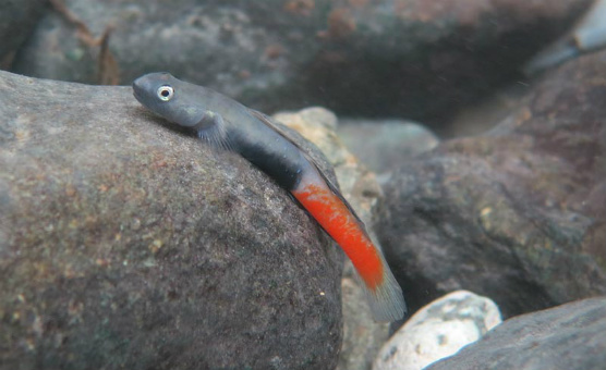 uling-goby