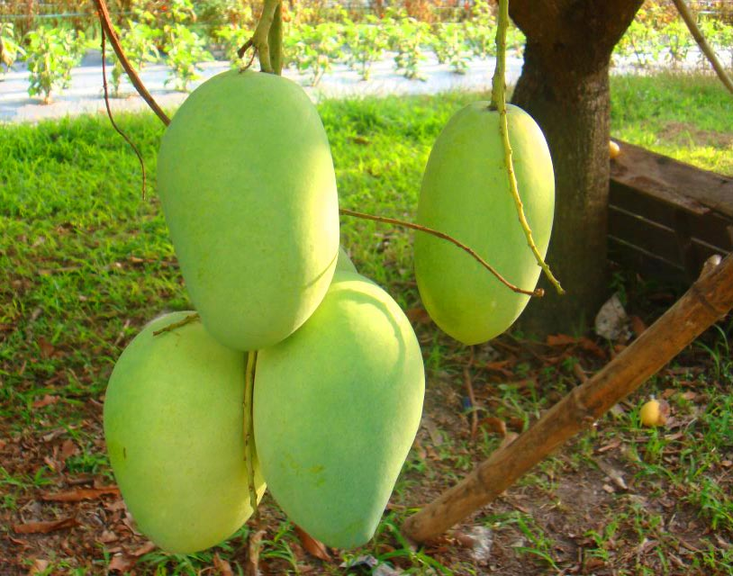 The Philippine Carabao Mango
