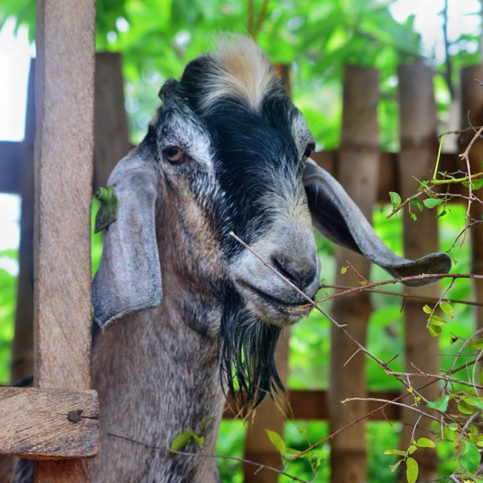 Photo from Cebu Goat Farm