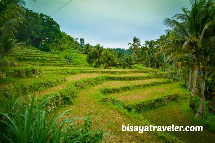 Rice paddies in Barangay Butong, Argao.