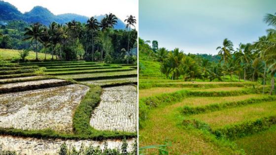 Rice Paddies in Cebu