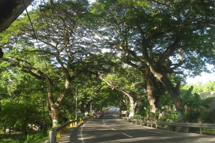 carcar city acacia trees saved