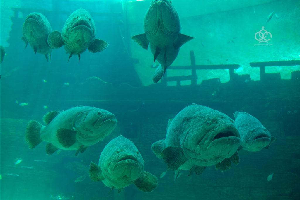 giant groupers cebu ocean park