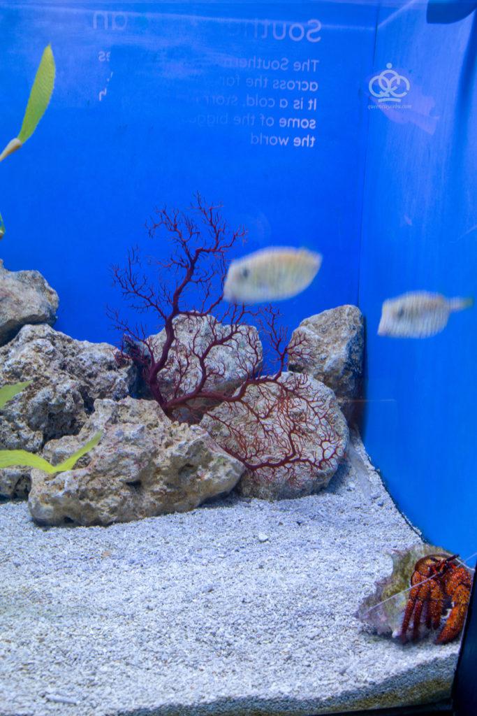 giant hermit crab cebu